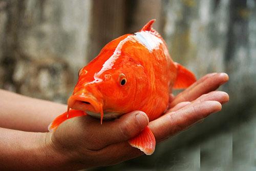 婺源荷包红鲤鱼