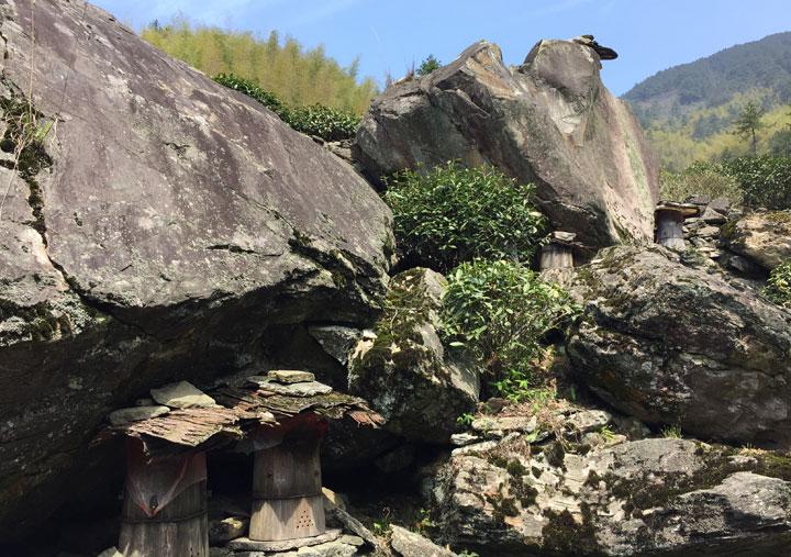 鄣山村人在石头底下放的蜜蜂木桶