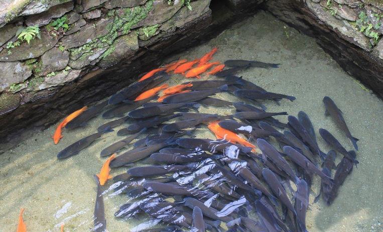 婺源鱼塘中中的冷水塘鱼荷包红鲤鱼